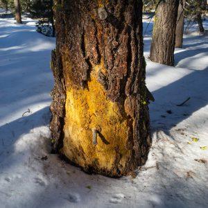 Tahoe tree in late winter sun.